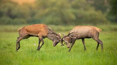 Two red deer stags fighting against each other using antlers and pushing hard