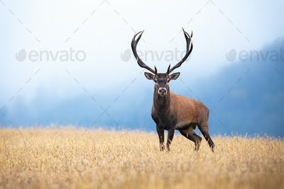 Red deer with big antlers standing on the field with gry grass in morning mist