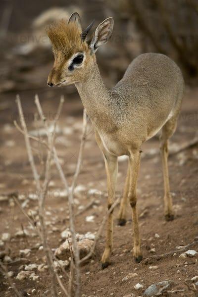 Dik dik standing, Tanzania, Africa