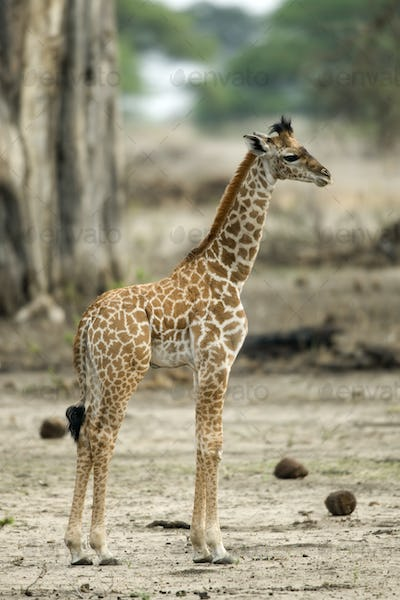 Young giraffe in the Serengeti, Tanzania, Africa