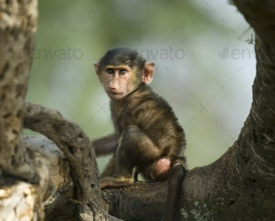 Baby monkey sitting in the tree in the Serengeti, Tanzania, Africa