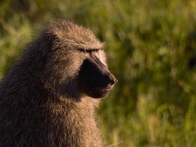 Baboon in the wild28