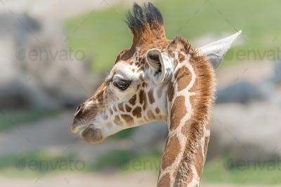 Little Giraffe, Big Personality