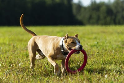 Staffordshire Terrier on a walk in the field on a sunny summer day