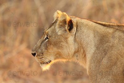 Lion found in the tanzanian national parks97
