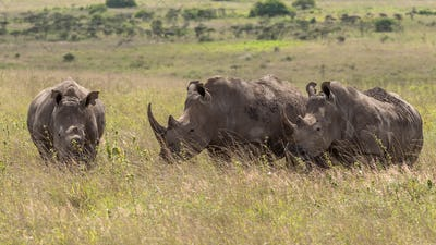 critically endangered Black Rhinoceros, Diceros bicornis, also c