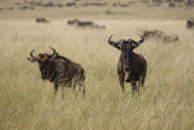 Wildebeest migration in tanzania and kenya128