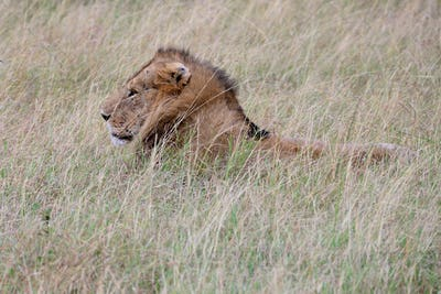lion in african national park
