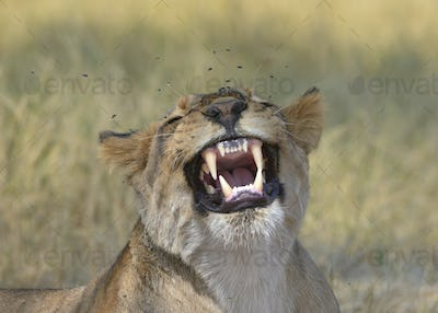 Lion found in the tanzanian national parks221