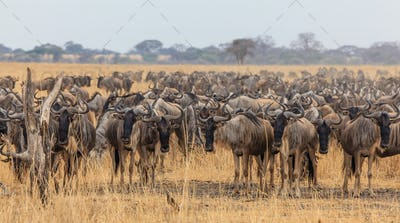 Wildebeest migration in tanzania and kenya129