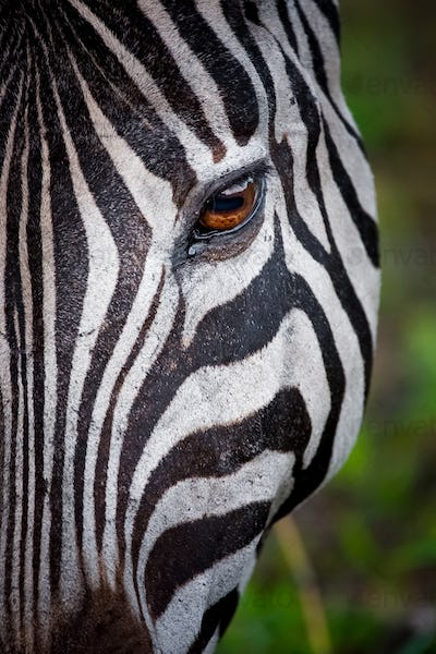 zebra in the national park