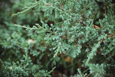 juniper branches background