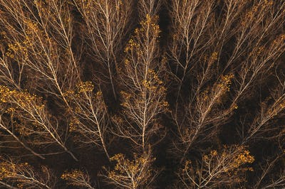 Autumn aspen tree forest from drone pov