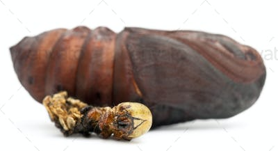 Giant Peacock Moth pupa removed from cocoon
