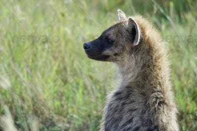 Hyena in Serengeti National Park, Tanzania, Africa