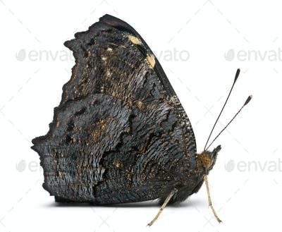 European Peacock moth, Inachis io, in front of white background