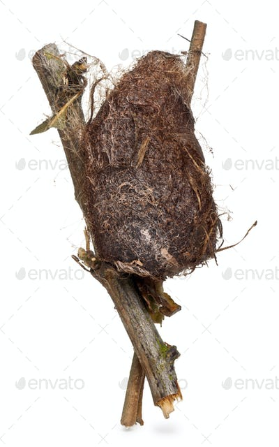 Cocoon of a Giant peacock moth in front of white background