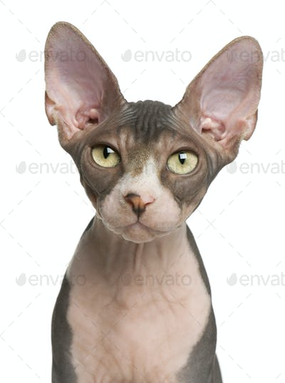 Sphynx kitten, 4 months old, portrait in front of white background