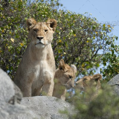 Lioness and lion cubs in Serengeti National Park, Tanzania, Africa