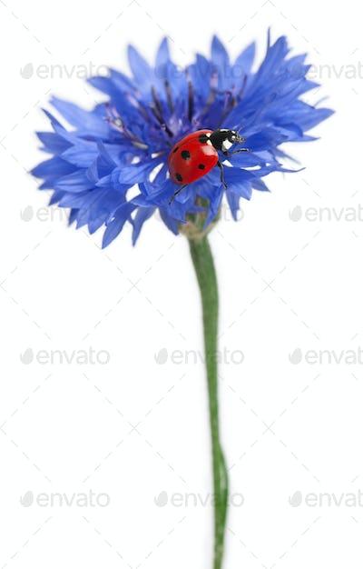 Seven-spot ladybird or seven-spot ladybug on Cornflower, Coccinella septempunctata, on white