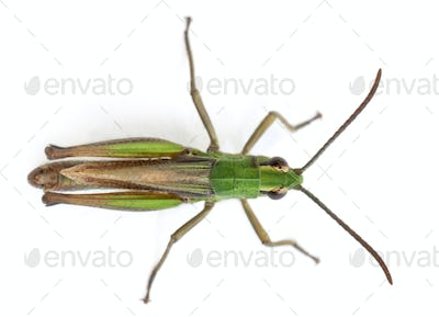 High angle view of cricket in front of white background