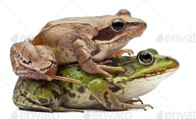 Common European frogs, Rana esculenta, and a Moor Frog, Rana arvalis on white