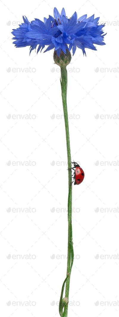 Seven-spot ladybird on Cornflower, Coccinella septempunctata
