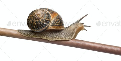 Garden Snail, Helix aspersa, in front of white background