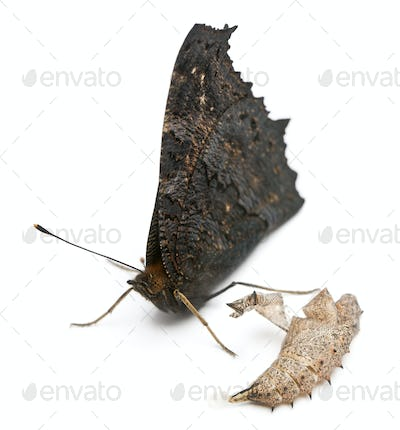 European Peacock moth, Inachis io, next to it's cocoon in front of white background