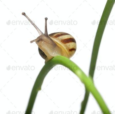 White Garden Snail, Sand Hill Snail, Theba pisana, on plant in front of white background