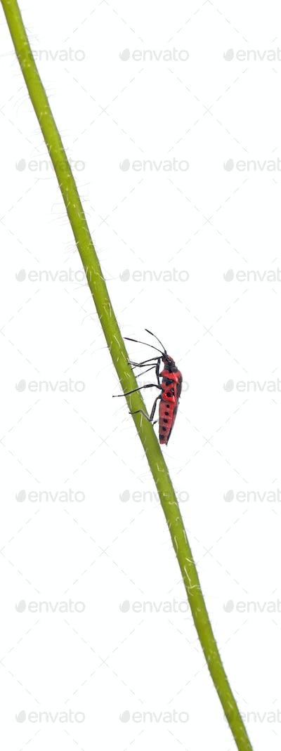 Scentless plant bug, Corizus hyoscyami, on poppy stem in front of white background