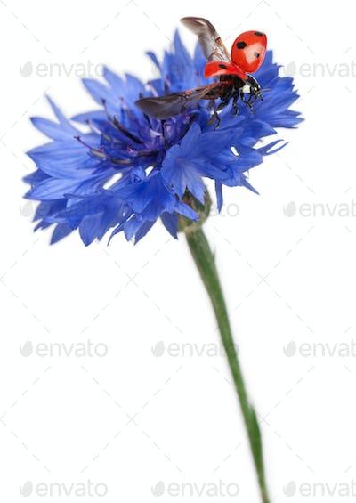Seven-spot ladybird or seven-spot ladybug on Cornflower, Coccinella septempunctata