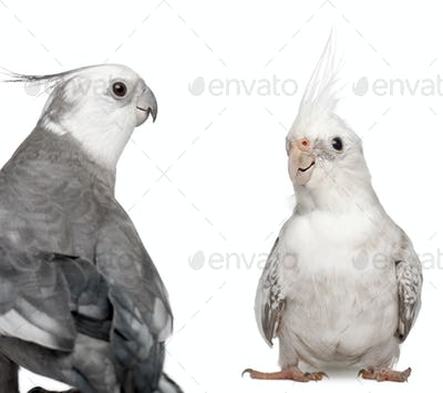 Male and female Cockatiel facing each other, Nymphicus hollandicus, in front of white background