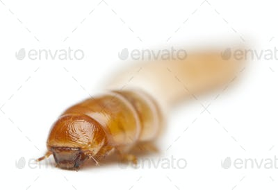 Larva of Mealworm, Tenebrio molitor, in front of white background