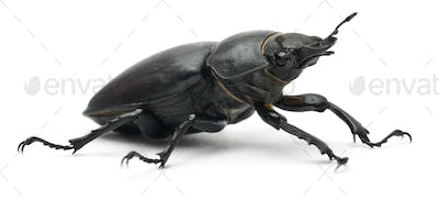 Female Lucanus cervus, the best-known species of stag beetle, in front of white background