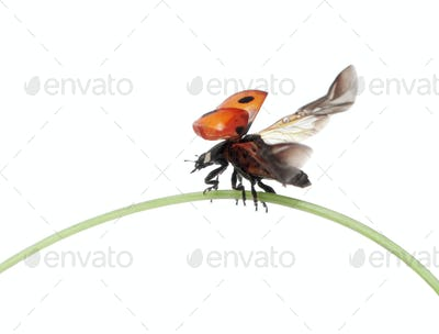 Seven-spot ladybird flying away