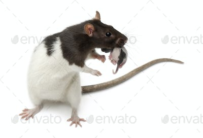 Fancy Rat carrying its baby in front of white background