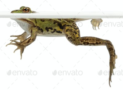 Edible Frog, Rana esculenta, in water in front of white background