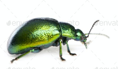 Leaf beetle, Chrysomelinae, in front of white background