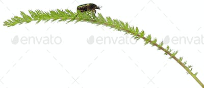 Rose chafer, Cetonia aurata, on plant in front of white background