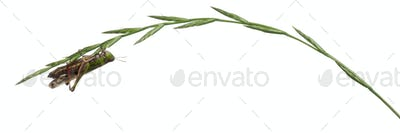 Cricket on a herb in front of white background