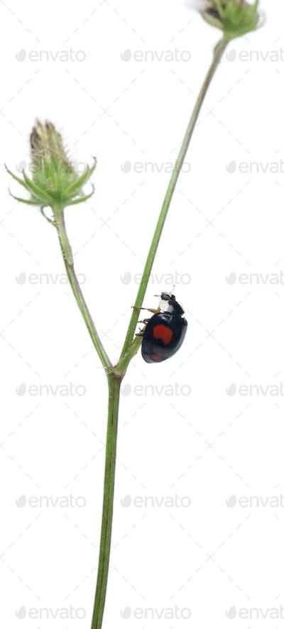 Asian lady beetle, or Japanese ladybug or the Harlequin ladybird, Harmonia axyridis, on plant