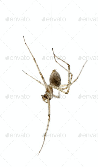 Cardinal spider, Tegenaria parietina, hanging from it's thread in front of white background