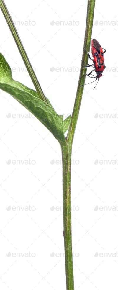 Scentless plant bug, Corizus hyoscyami, on plant stem in front of white background
