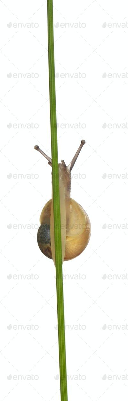 Grove snail or Brown-lipped snail, Cepaea nemoralis, without dark bandings