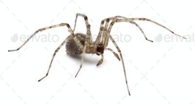 Cardinal spider, Tegenaria parietina, in front of white background