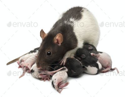 Fancy Rat feeding its babies in front of white background