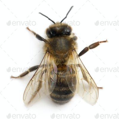 Female worker bee, Anthophora plumipes, in front of white background