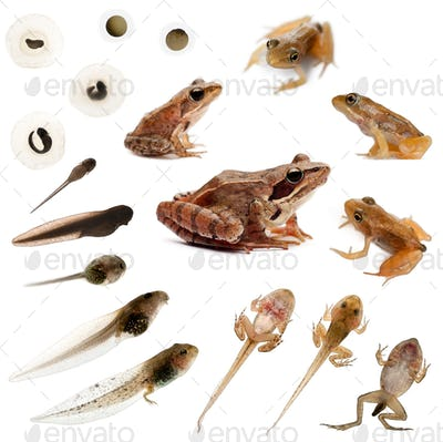 Composition of the complete evolution of a Common frog in front of a white background