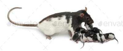 Fancy rat taking care of its babies in front of white background